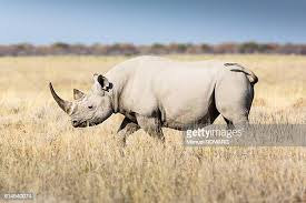 Science Combats Extinction of Rhinos